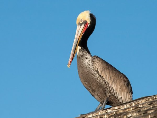 brown pelican in siesta key