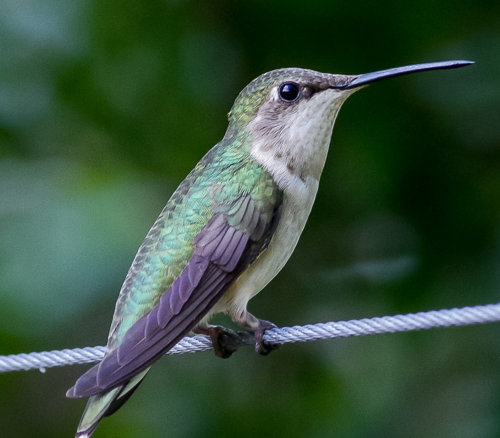 Hummingbird Siesta Key