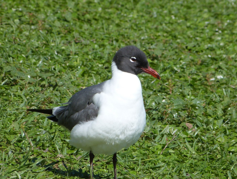 Laughing Gull Siesta Key