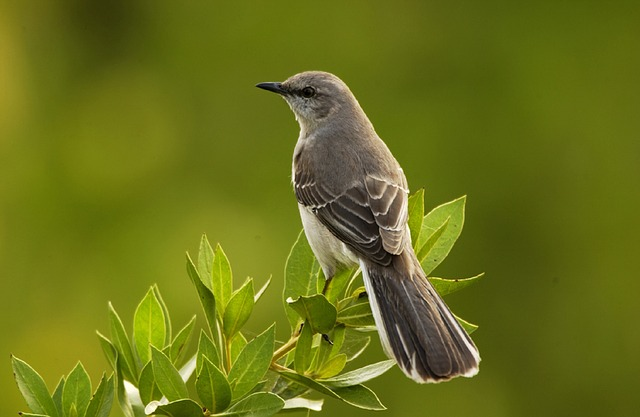 Mockingbird Siesta Key