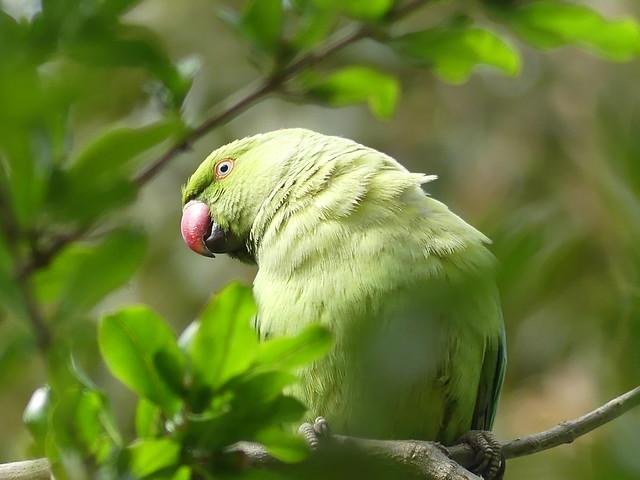 Monk Parakeet Siesta Key