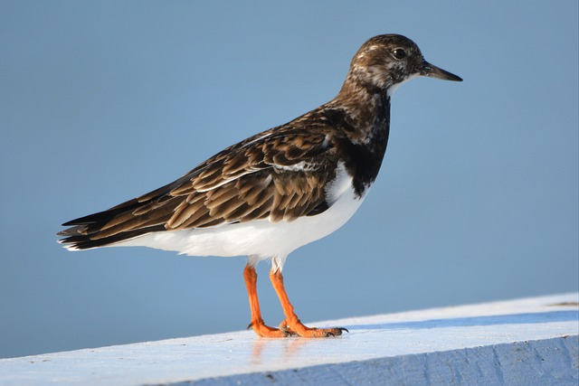 Ruddy Turnstone Siesta Key