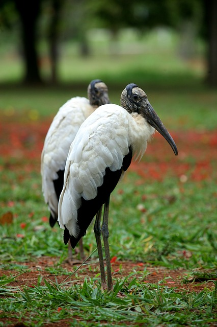 Wood Stork Siesta Key