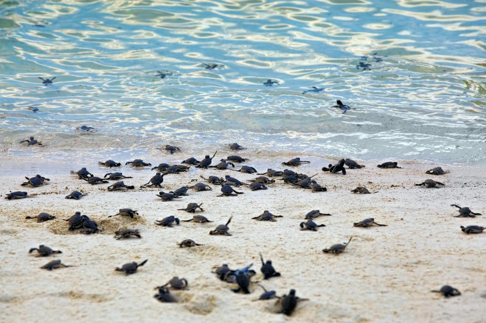 Baby sea turtles getting in the Gulf in Siesta Key
