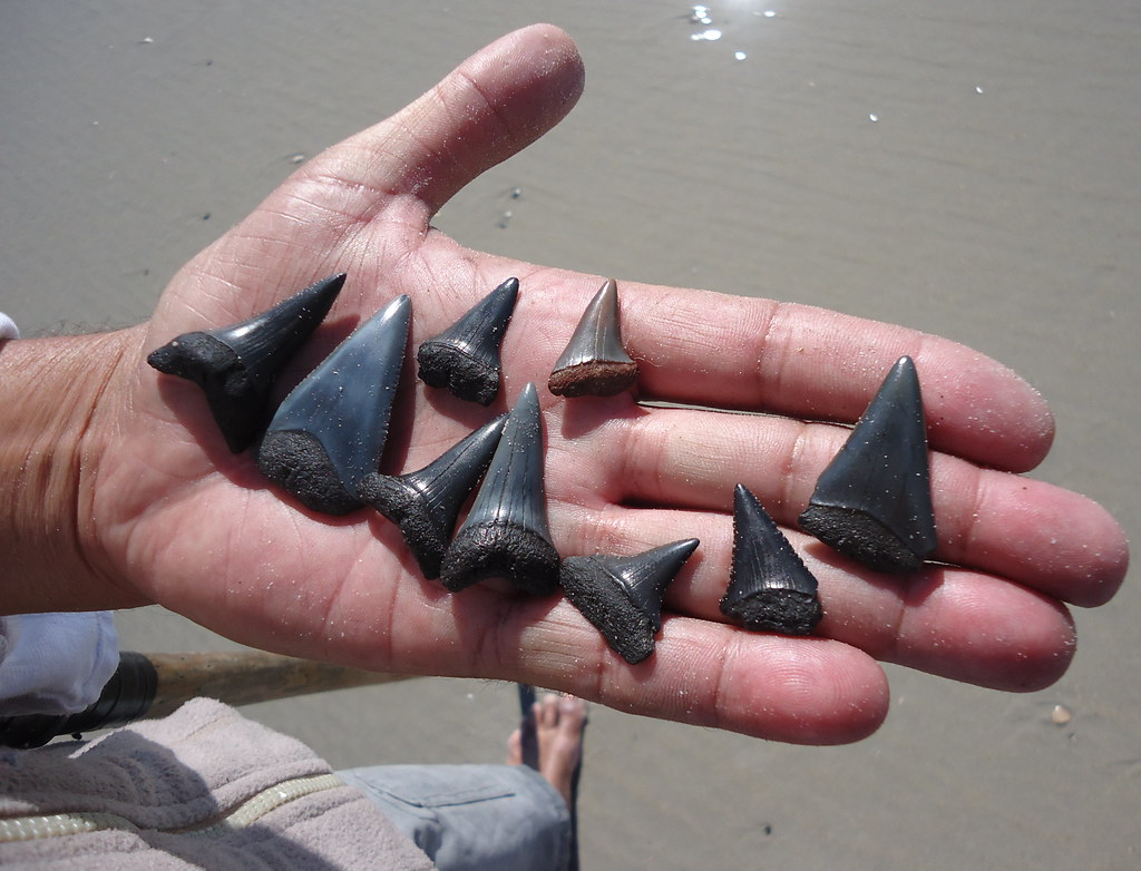 hand holding assorted shark teeth